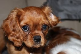 adorable spaniel puppy