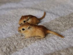 two brown fluffy mice on the carpet