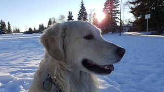 Golden Retriever Pet winter portrait