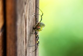 macro view of Green and black spider on wood