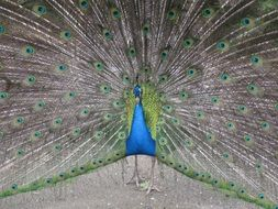 blue and green Peacock with wide open tail feathers