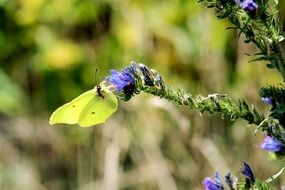 light green gonepteryx rhamni butterfly in wildlife