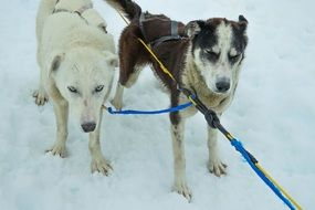 tired sled dogs after pulling