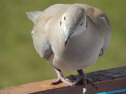 portrait of a gray dove in the sun