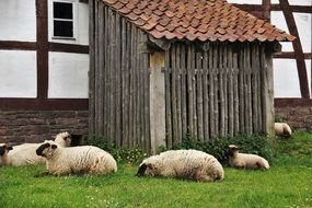 Sheep lying on grass at Barn