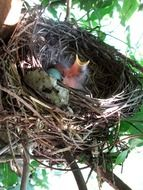 chicks in a bird\'s nest on a tree