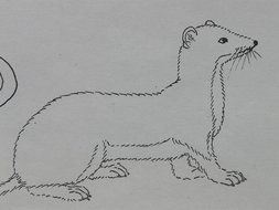 schematic illustration of a ermine