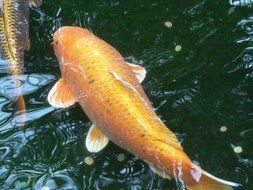 orange goldfish in the water