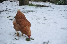brown chicken stands in the snow