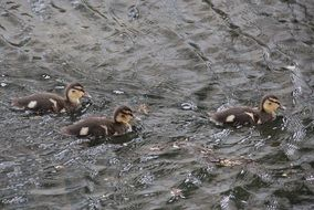 Young Mallard Chicks on the water