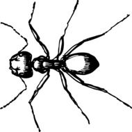 Black and white big Ant insect drawing
