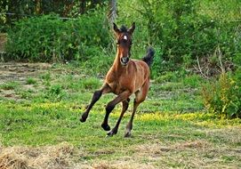 running thoroughbred foal