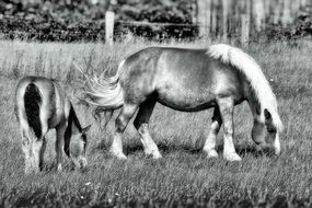 black and white photo of a mare with a foal on a pasture