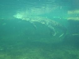 Crocodile under water at surface