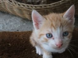 red and white kitten with blue eyes looking up