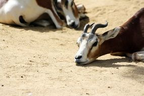 portrait of Dama Gazelle in Zoo