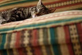 sleeping domestic cat on the sofa