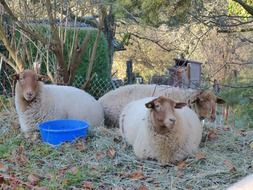 three brown Sheep lays on grass