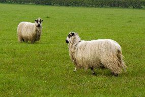 two purebred sheep on a green lawn