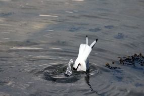 seagull dives into the lake