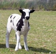 Black and white young lamb