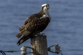 Picture of Osprey Bird