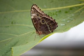 brown butterfly on a green leaf close-up
