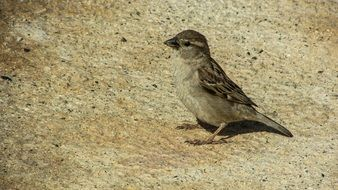 small young sparrow
