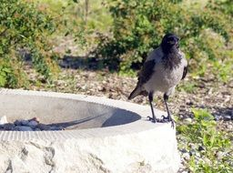 crow on a concrete ring