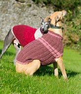 two thoroughbred dogs in knitted jumpers