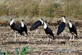 woolly-necked storks in india