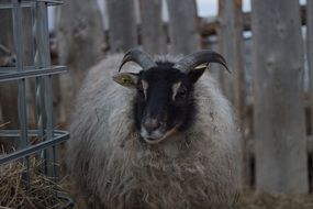 Icelandic sheep near a wooden fence
