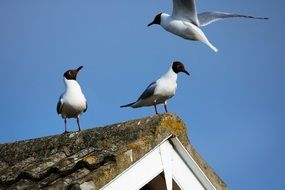 sea gulls on the roof against the blue sky