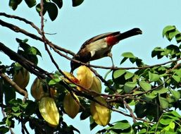 Red-Vented bulbul pecking starfruit, india, dharwad