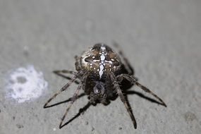 Garden cross spider, macro