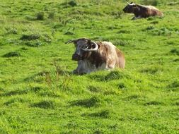 cows lie on green grass