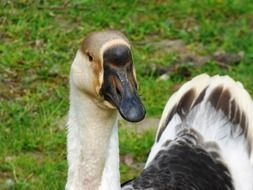 wild goose with black beak