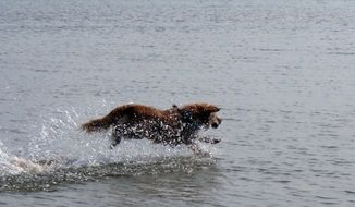 stunningly beautiful Toller Dog in water