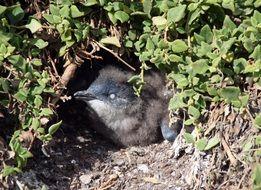 portrait of Young Penguin in Nest