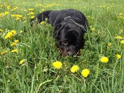 Rottweiler dog on meadow