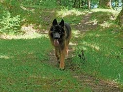 German shepherd walks along a forest trail