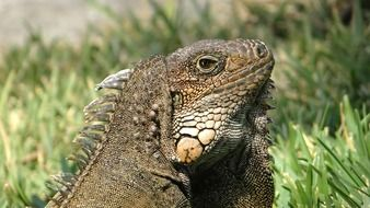 portrait of an iguana