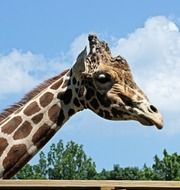 giraffe head against blue sky