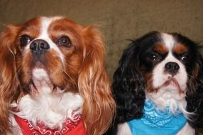 Chevalier King Charles Spaniel in the house