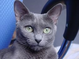 photo portrait of russian blue cat
