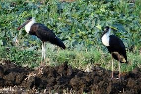 couple of woolly-necked storks