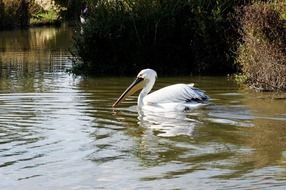 white pelican with a large beak in the water