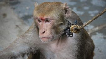 photo of macaque with a leash close-up on blurred background