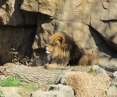 proud relaxed lion