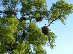 large nests on a green tree
